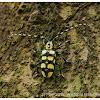 Aristobia testudines 龜背簇天牛
