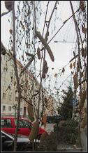 Photo: Mesteacan (Betula) - de pe Str. Macilor - 2017.12.19