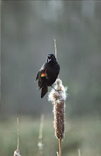 Photo: That Black Bird with the Red Mark On It's Wing