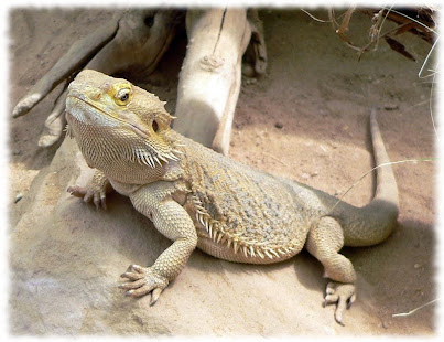 Bearded dragons wallpaper pics apps on google play screenshot image voltagebd Choice Image