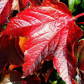 Rouges by Gérard CHATENET - Nature Up Close Leaves & Grasses