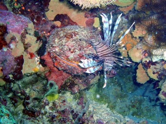 Pesce scorpione di cecchignola1