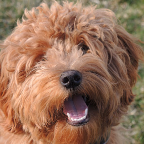 Tucker by Donna Bell - Animals - Dogs Portraits