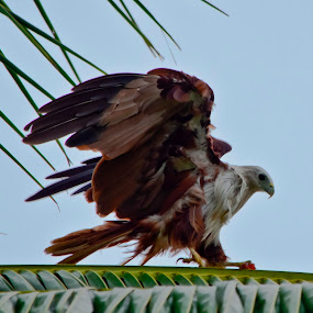 Brahminy Kite - Just landing by Manjunath Nagesha Rao - Animals Birds