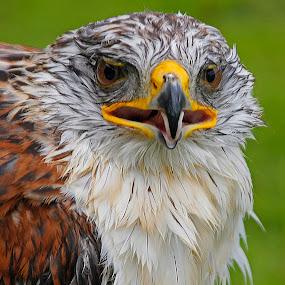 Close up by Wilson Beckett - Animals Birds (  )