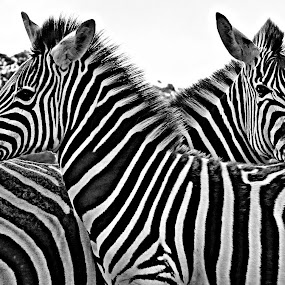 by René Wright - Animals Other Mammals ( nature, black and white, bush )