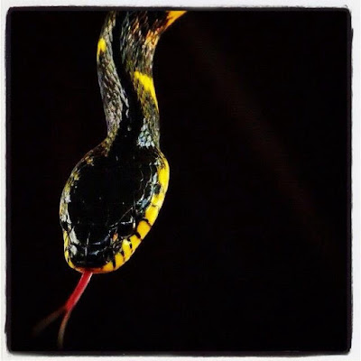 Snake di Fridasau