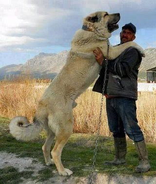 Kangal Dog (Anatoli Shepherd) price range. Kangal puppies cost?