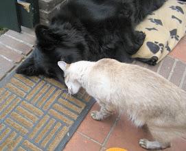 Photo: Sinjo geeft Angel een kopstoot, hij moet tenslotte toch een kattengeur afgeven.