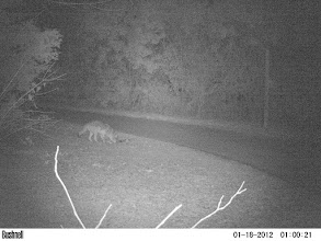 Photo: Coyote checks the culvert