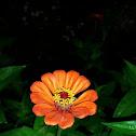 flor celia