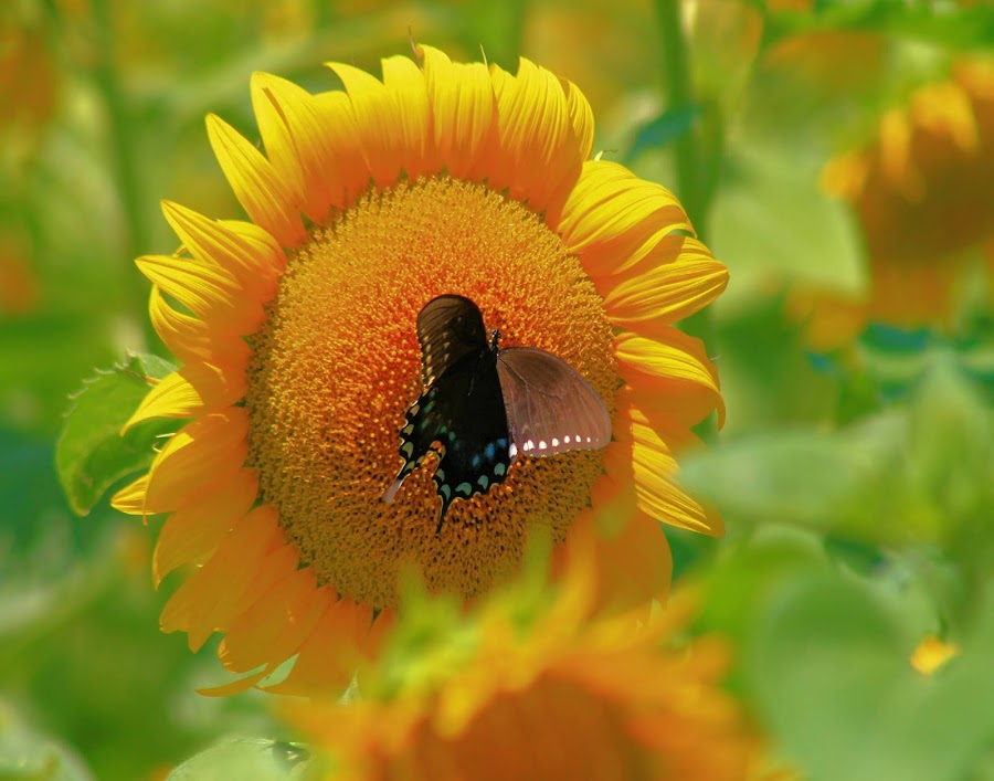 Drawn to Yellow  by Sandy Darnstaedt - Animals Insects & Spiders (  )