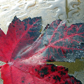 Maple Leaf by Maureen Rueffer - Nature Up Close Leaves & Grasses ( fall leaves on ground, fall leaves )