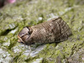 Photo: Goat Moth