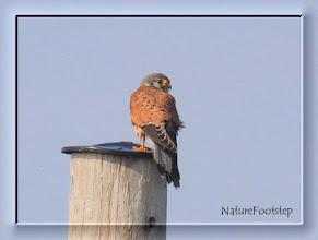 Photo: Tornfalk - Falco tinnunculus - Common Kestrel NF Photo 111003, Falsterbo Fyr http://nfbird.blogspot.com/2011/12/tornfalk-falco-tinnunculus-common.html