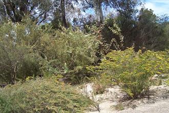 Photo: other plants, including Kambah Karpet