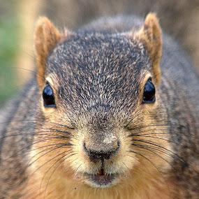 In Your Face by Anita Frazer - Animals Other Mammals ( gray squirrel, brown, squirrel, mammal,  )