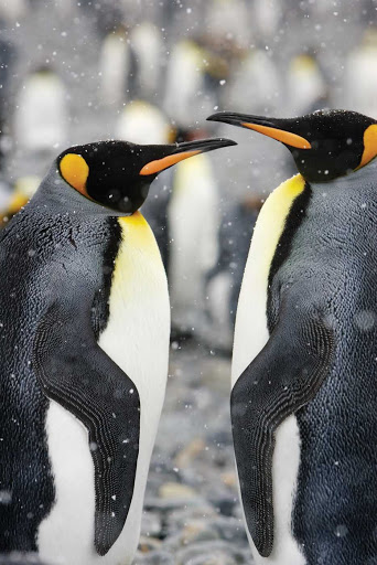 A couple of courting king penguins face each other in Gold Harbor, South Georgia, during a Lindblad Expedition.