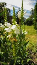 Photo: Lumânărica albă (Verbascum 'Temptress White') - din Turda, Parcul Bisericii Ortodoxe de pe Calea Victoriei - 2019.07.09