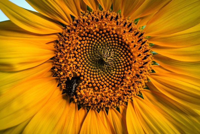 Sequenza di Fibonacci interrotta da coleottero goloso di rosy_greggio