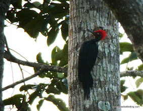 Photo: The awesome White-bellied Woodpecker, Sepilok Rainforest Discovery Center