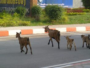 Photo: goat family crossing the street