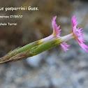 Dianthus gasparrinii Guss.