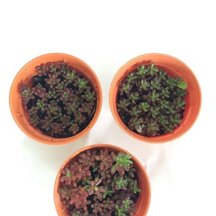 Succulent Plant - Portulaca Gilliesii - 1.5inch pots (3x) by AquaticsForevers Enterprise
