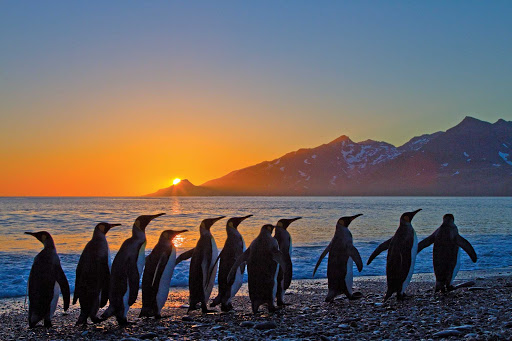 King penguins walk along the shore at sunrise on South Georgia Island during a Lindblad Expeditions tour.