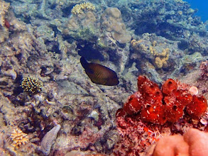 Photo: Amanses scopas (Broom Filefish), Miniloc Island Resort reef, Palawan, Philippines.