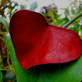 red leaf hearth by Caterina Azara - Nature Up Close Leaves & Grasses (  )