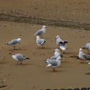 Red-Billed Gull/Akiaki