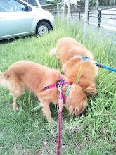 Photo: 朝は、台風の為散歩に行けなかったので・・・。さあー!犬たちよ!思うぞん分、う〇ちするがいい!!