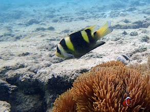 Photo: Dischistodus fasciatus (Banded Damselfish), Miniloc Island Resort Reef, Palawan, Philippines.