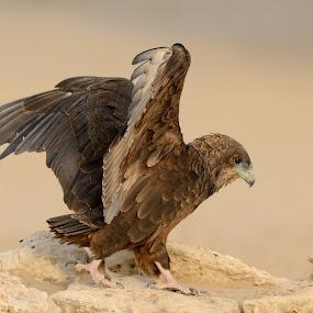 Juvenile Bateleur by Tobie Oosthuizen - Animals Birds ( bird of prey, raptor, kgalagadi, juvenile, bateleur )