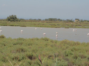 Photo: impressions from Carmarque: Flamingos