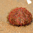 Two-toned salmacis urchin