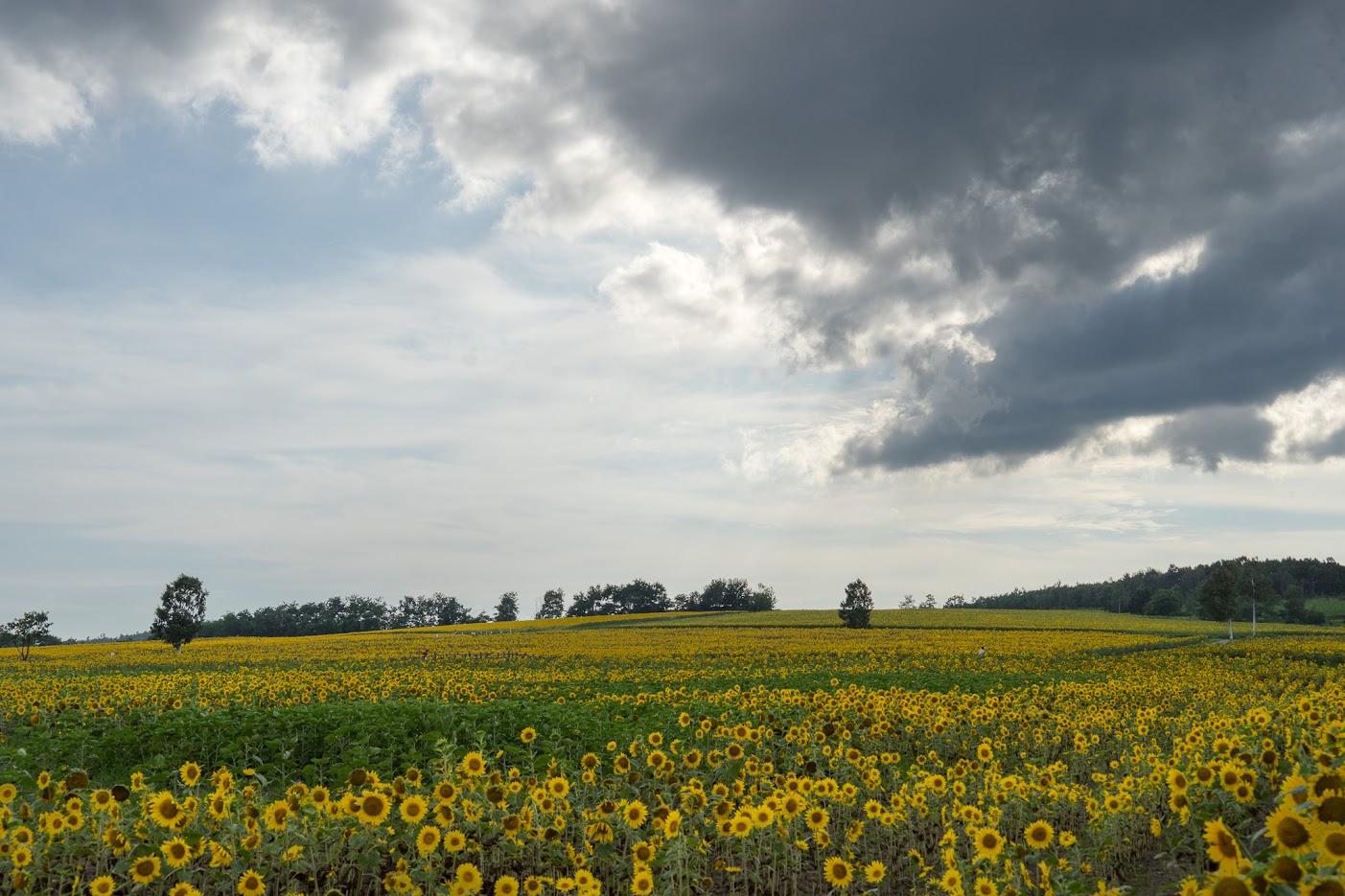 最も西方の区画も開花が始まりました
