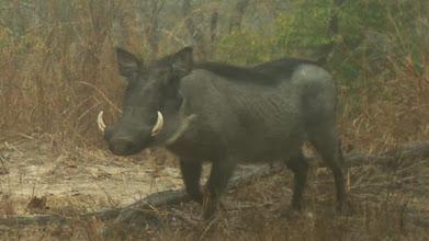 Photo: Big pig Grande porco