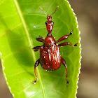Leaf roller Weevil