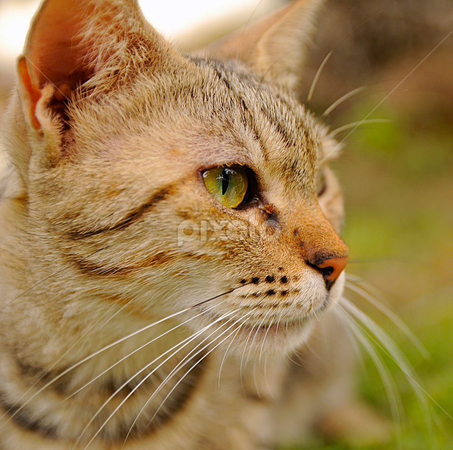 Watching by Jbern Eugenio - Animals - Cats Portraits ( macro, cat, brown, animal, eye )