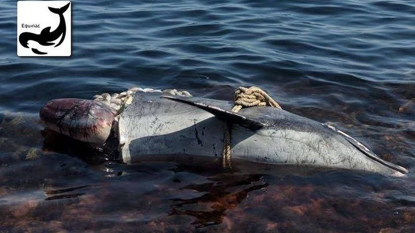 Delfín aparecido en Aguamarga con la cabeza casi seccionada y un cabo atado al cuerpo. (Foto: Equinac)