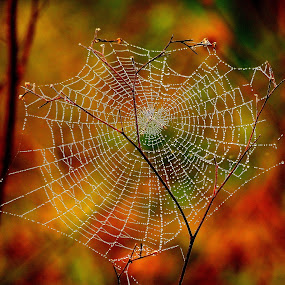 water harvesting by Nani Garu - Nature Up Close Webs ( water, fresh, dew, web, morning )