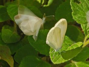 Photo: Butterflies' Courtship