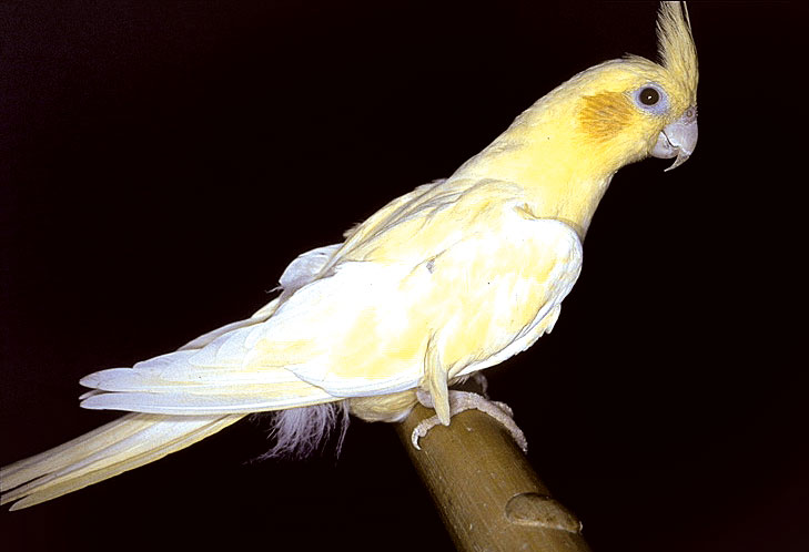 A lutino cockatiel with excessive yellow feather pigmentation commonly seen in nutritional disorders