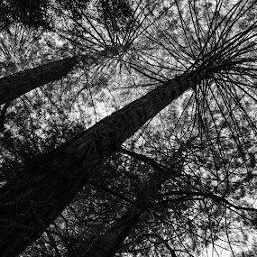Redwoods by John  Pemberton - Black & White Flowers & Plants ( leading lines, black and white, silhouette, california, trees, redwood,  )