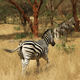 Going home by Sean Ross - Animals Other Mammals ( zebra, vacation, senegal, family, wild )