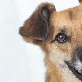 Walkies? by Jamie Ledwith - Animals - Dogs Portraits ( colour, closeup, portrait, dog, pet,  )