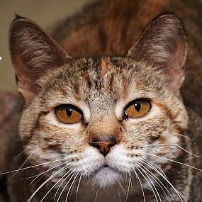 Kendra2 by Michael Cowan - Animals - Cats Portraits (  )