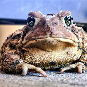 Mr. Toad by Jillynn Markle - Animals Amphibians ( animals, nature, amphibian, toad )